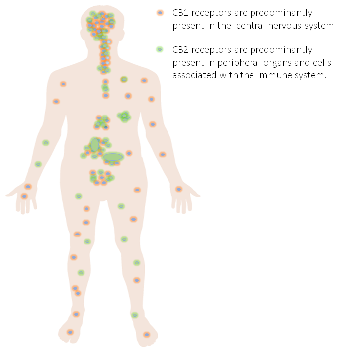 Cannabinoid receptor distribution in the human body